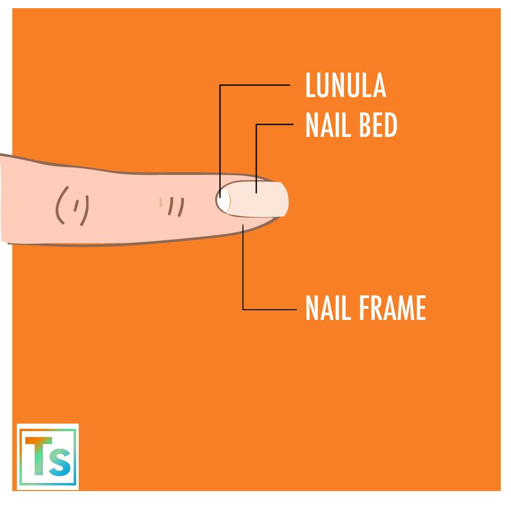 The anatomy of fingernail