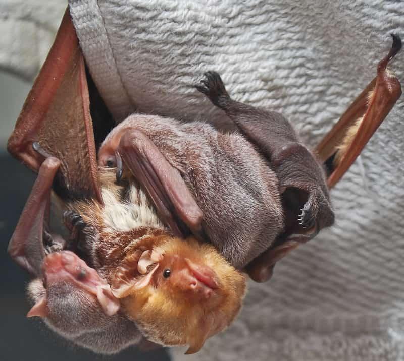 eastern red bats