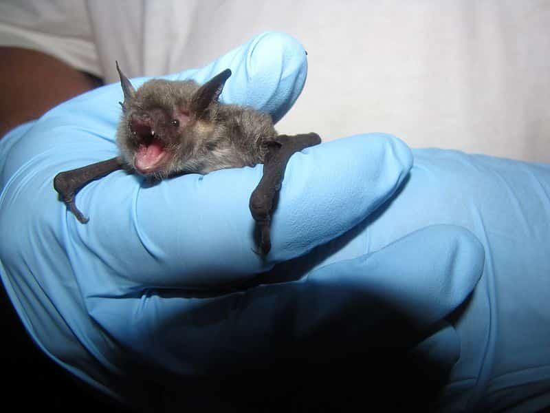 Gray bat
