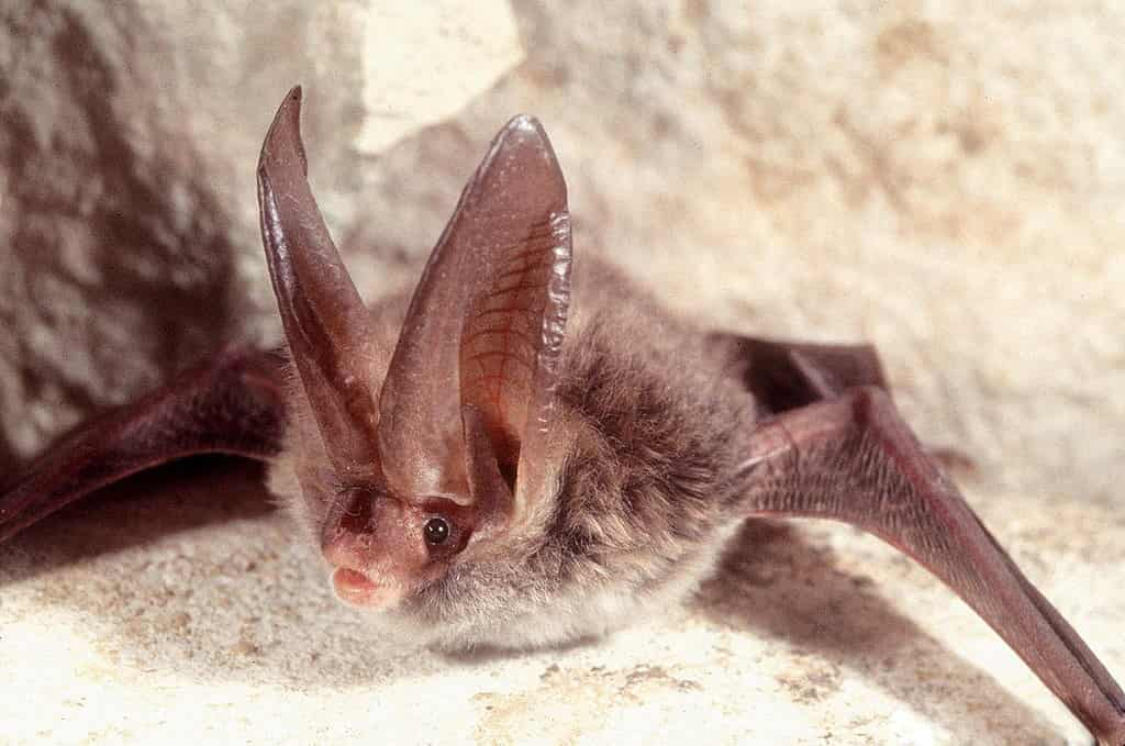Rafinesque's Big-eared bat