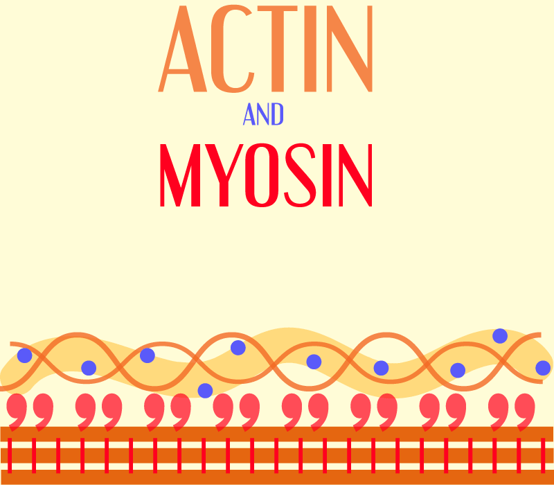 What is actin and myosin cover image