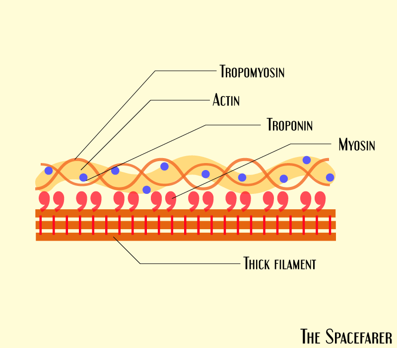 What is actin and myosin pictorial representation
