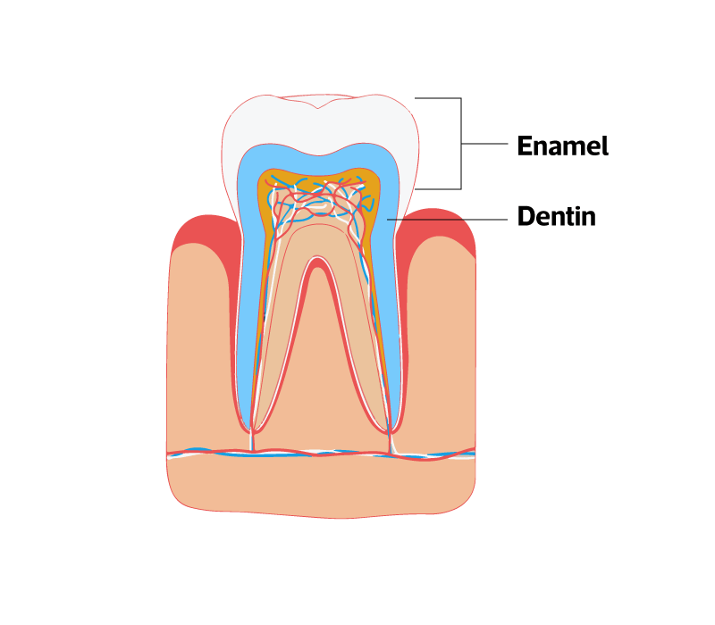 The structure of a teeth showing the enamel and dentin