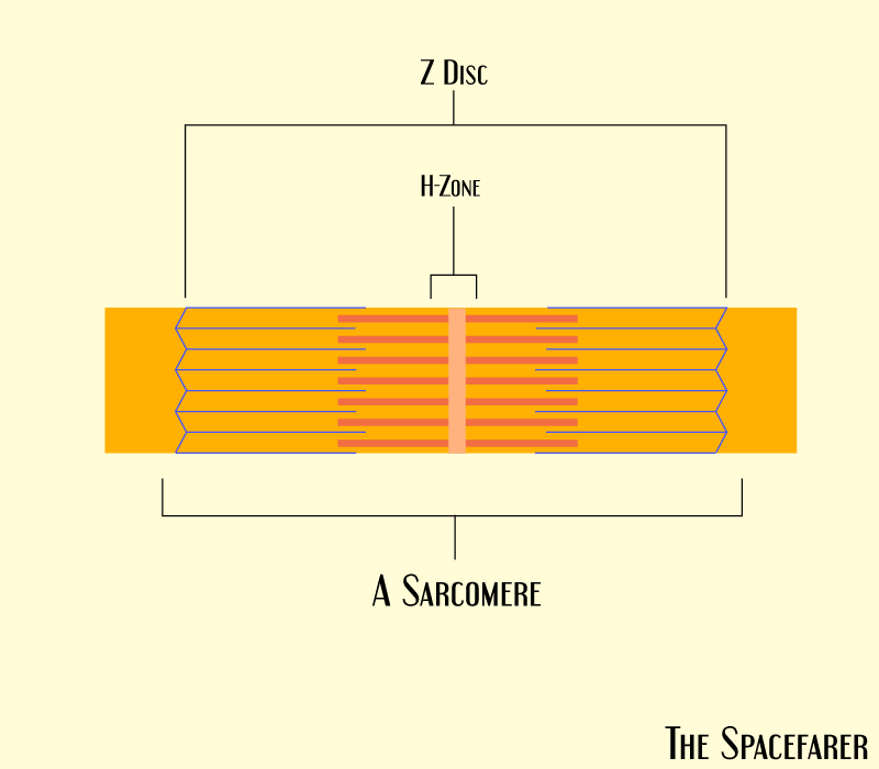 The Z line and M line of a sarcomere