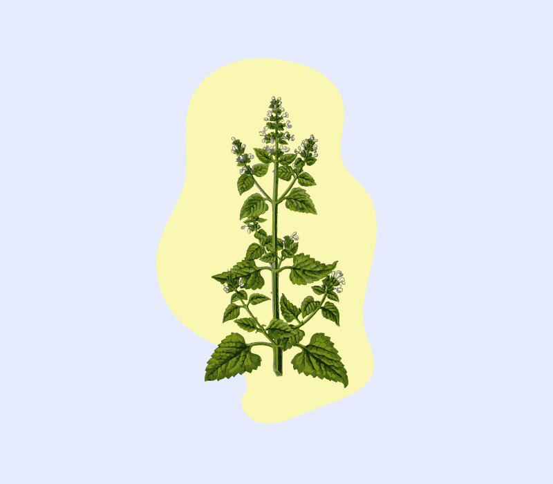 what is catnip cover image featuring an illustration of catnip plant